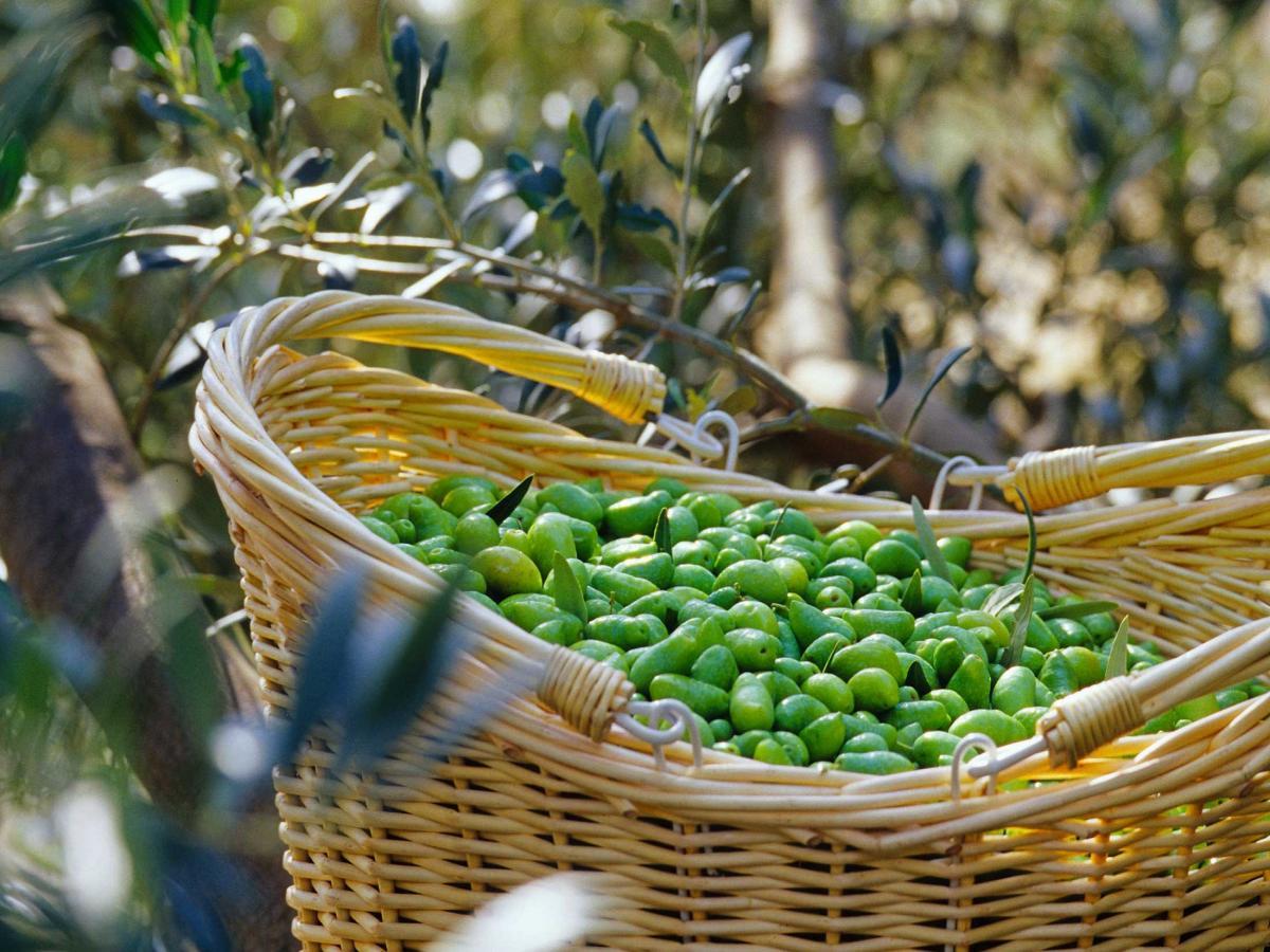 La visite de l'odyssée de l'olivier